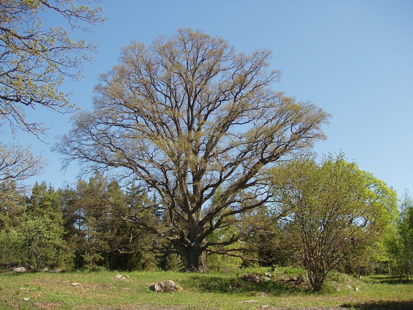 Depiction of Quercus