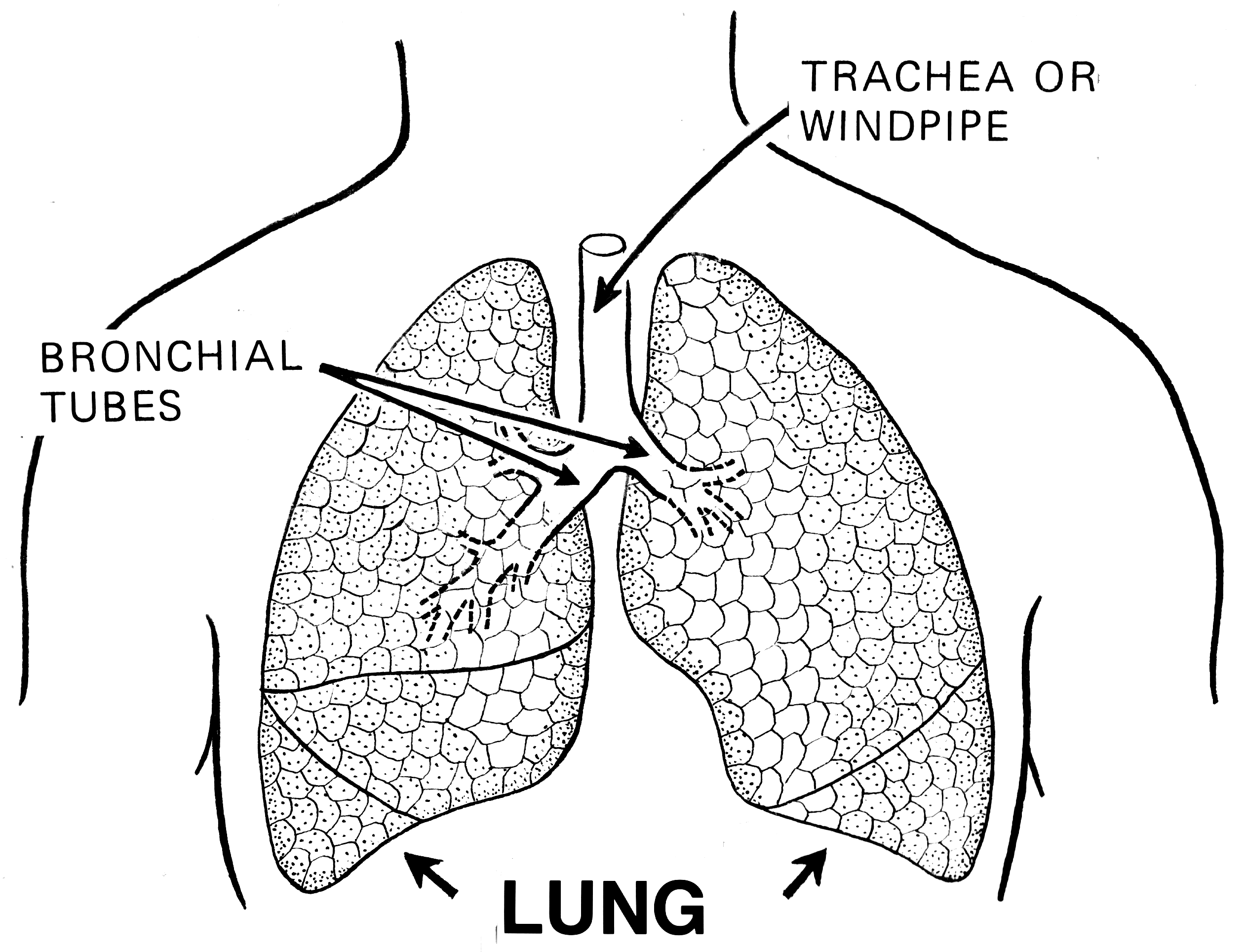 Human lungs, bronchial tubes, and trachea