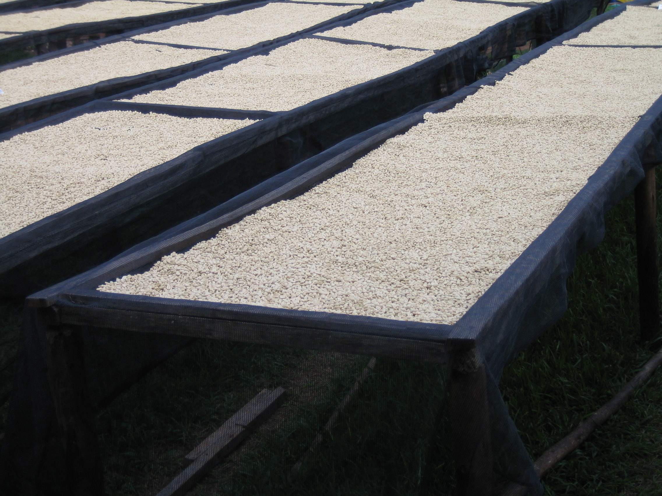 Photograph of four drying racks containing white coloured unroasted coffee beans