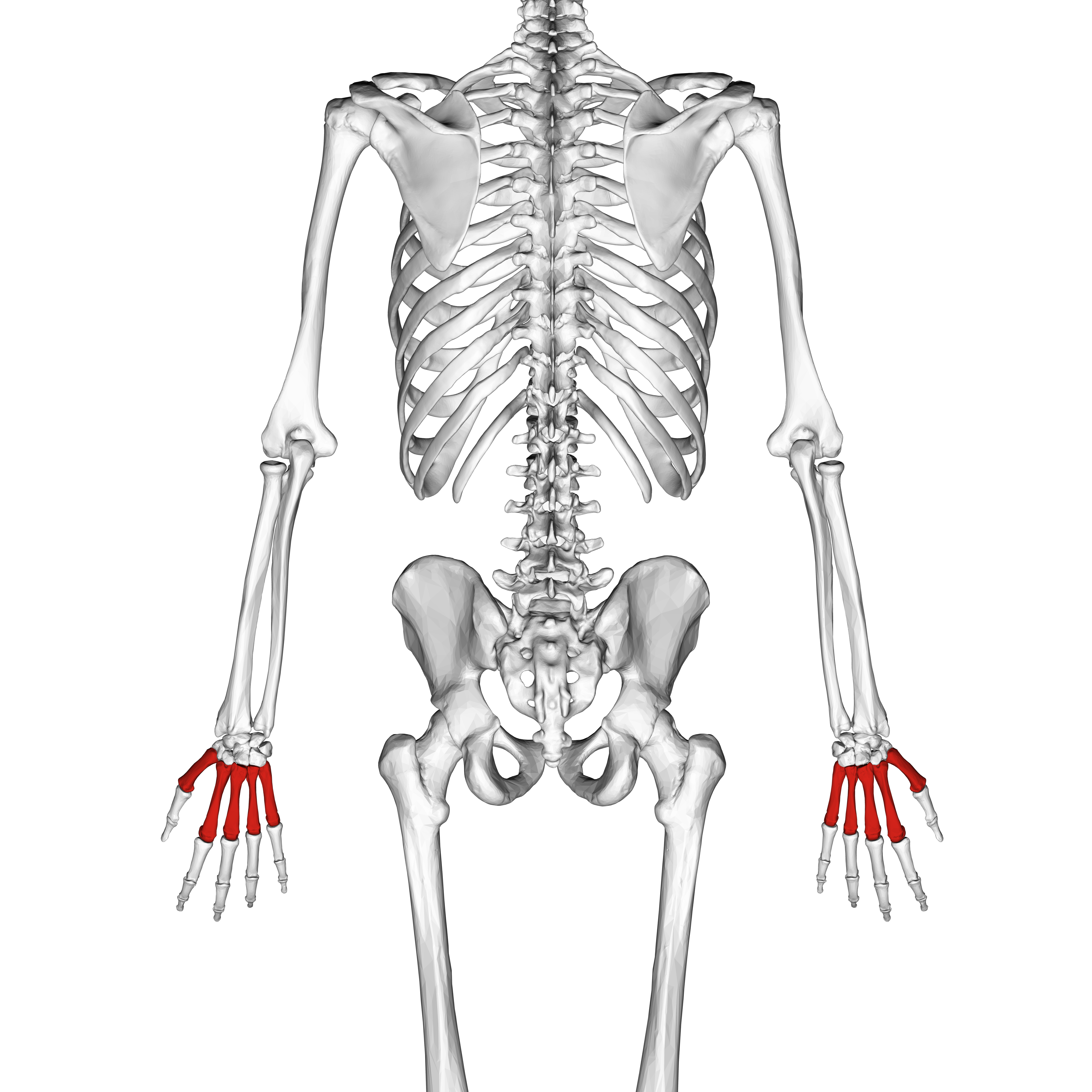 numbered metacarpals bone - HD4500×4500