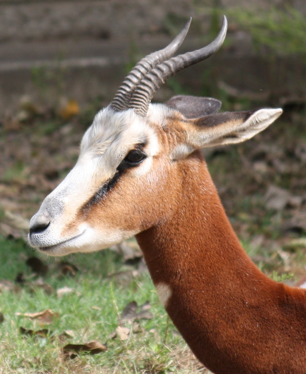Images Of Backyards: Gazelle De Mhorr