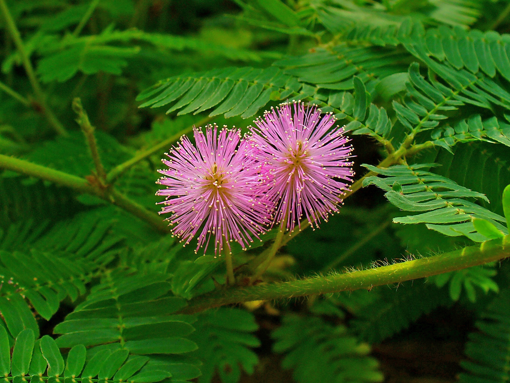 Description Mimosa pudica 003.JPG