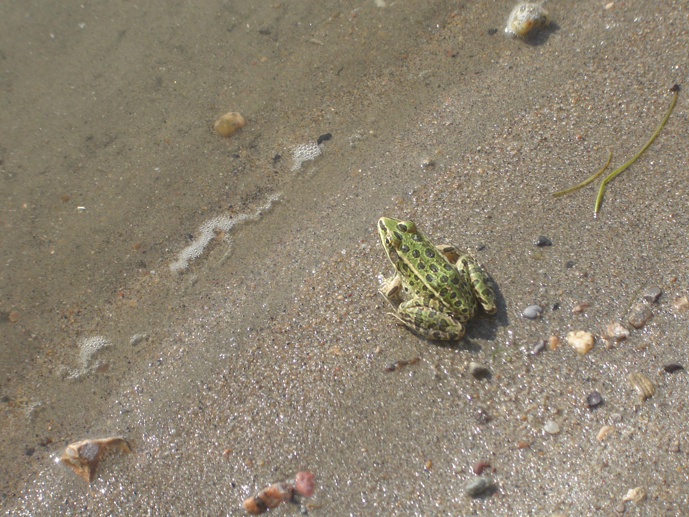 File:Northern Leopard Frog.jpg