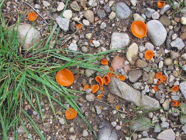 File:Orange Peel Fungus, a Cup fungus. - geograph.org.uk - 274612 ...