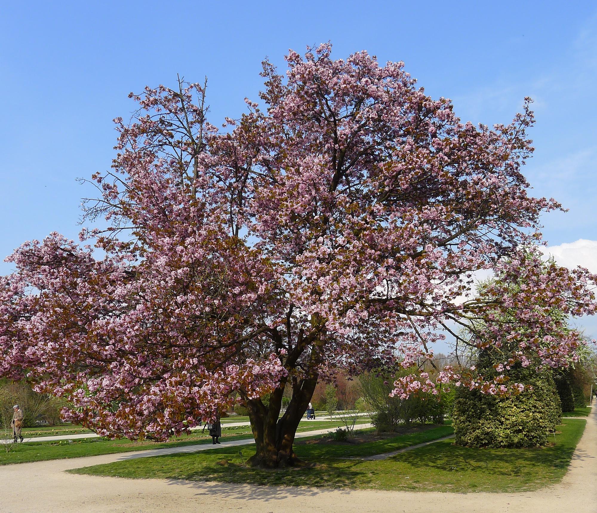 Hauteur Cerisier Du Japon fichier:p1240517 paris v jardin des plantes cerisier du
