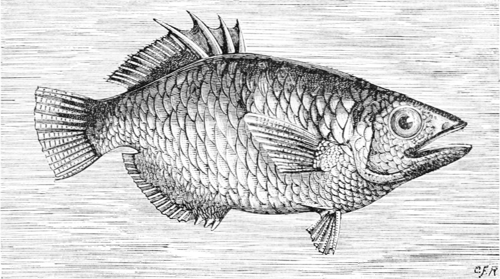 File:PSM V12 D319 Archer fish.jpg - Wikipedia, the free encyclopedia