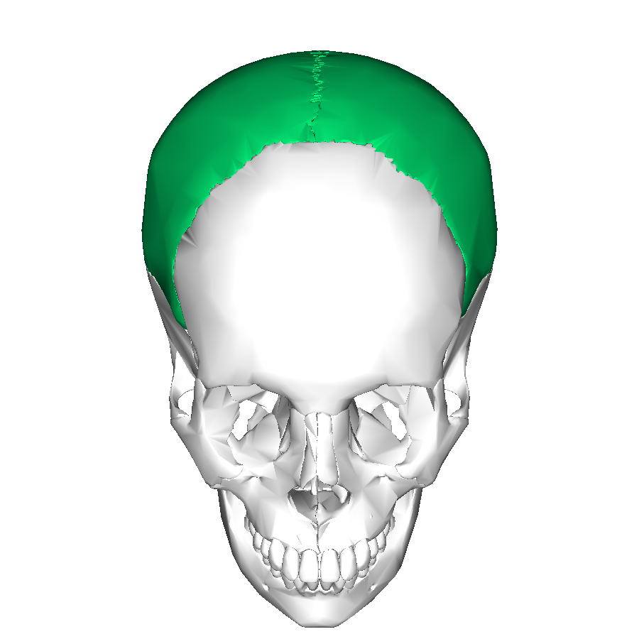 Fileparietal Bone Superior2g Wikimedia Commons