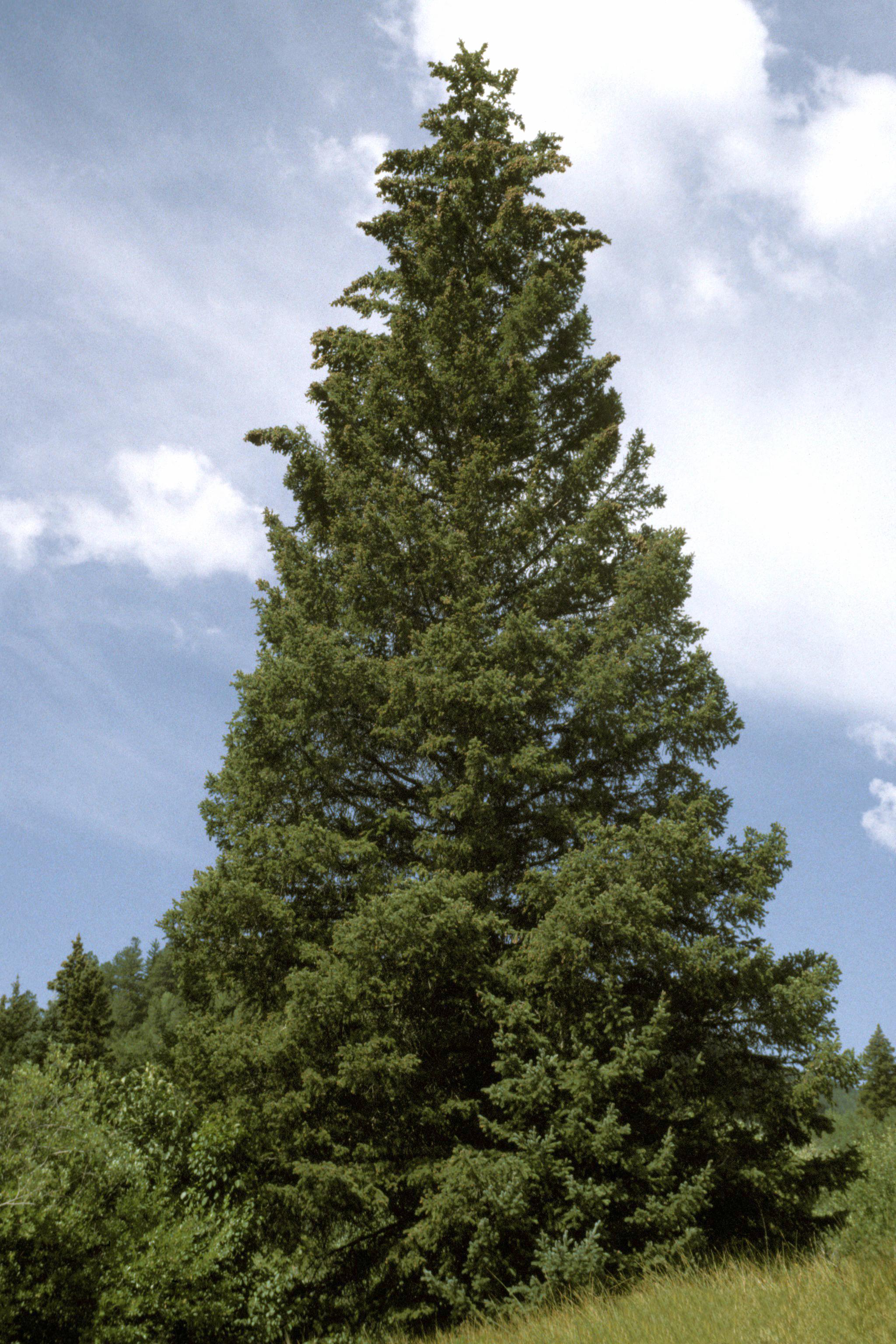 Weihnachtsbaum Samen.Stech Fichte Wikipedia