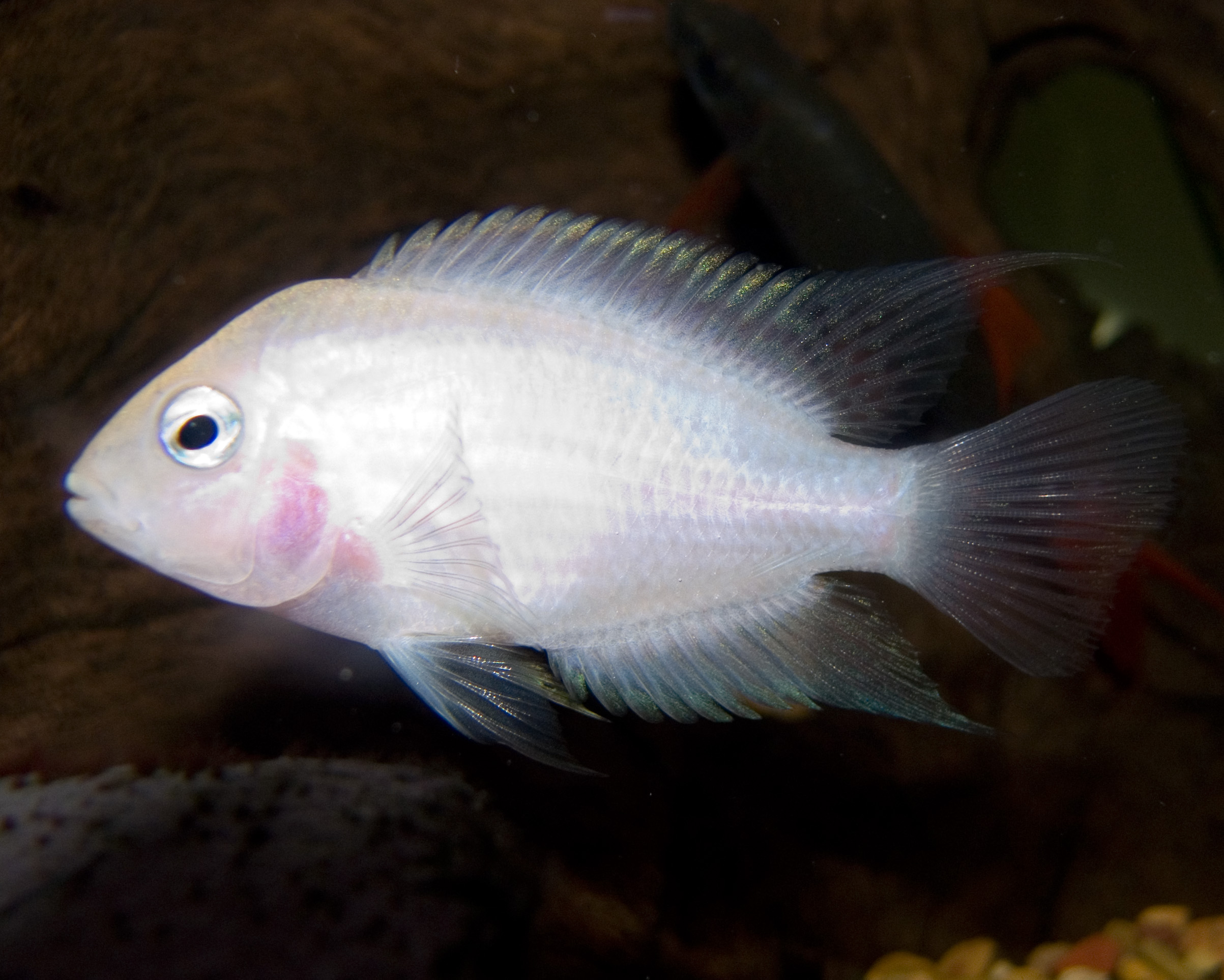 Stock Photos Long Finned Albino Oscar Fish Image990593 furthermore Types Of Oscar besides Lumpfish Cyclopterus Lumpus additionally 3089 How To Tell The Sex Of A Goldfish together with Watch. on oscar cichlid with fry
