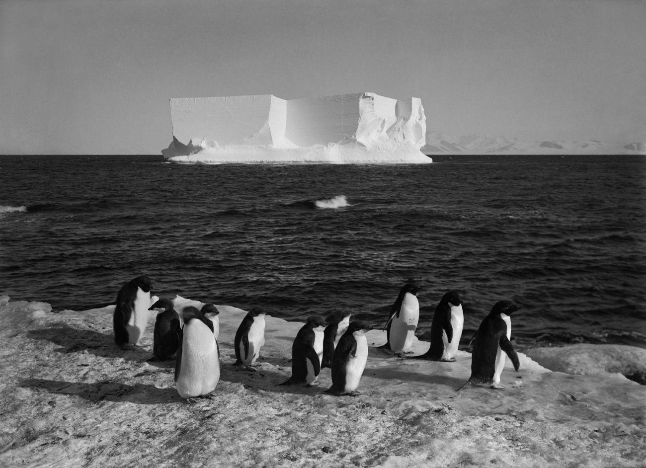 Tucnaci na ledove kre - zaber z Pontingova filmu The Great White Silence.