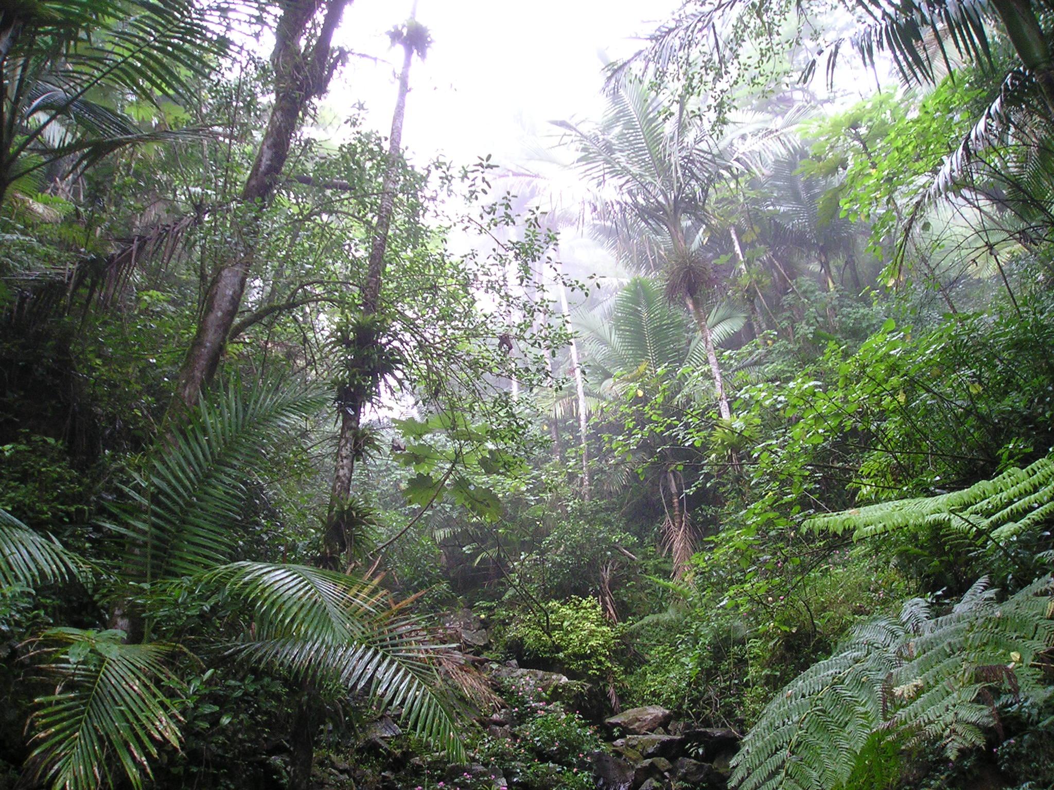 Description rain forest of el yunque puerto rico