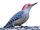 Tập tin:Red-bellied woodpecker icon.png