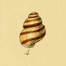 <i>Eatonina</i> genus of molluscs