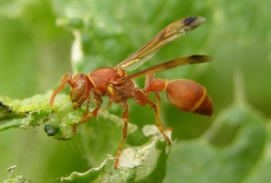 Bộ sưu tập côn trùng 2 - Page 15 Ropalidia_marginata