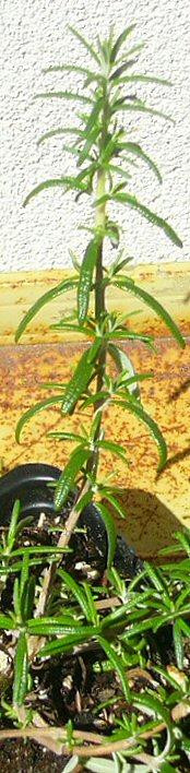 A shoot of the cultivar 'Irene'