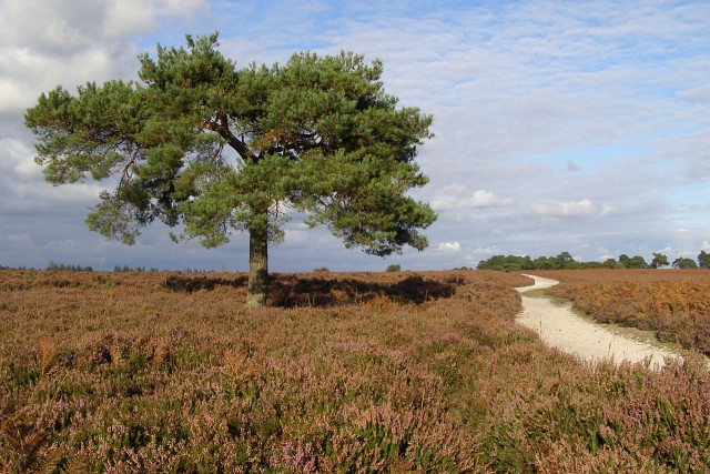Scots pine tree between Wilverley Plain and Holm Hill, New Forest - geograph.org.uk - 563548