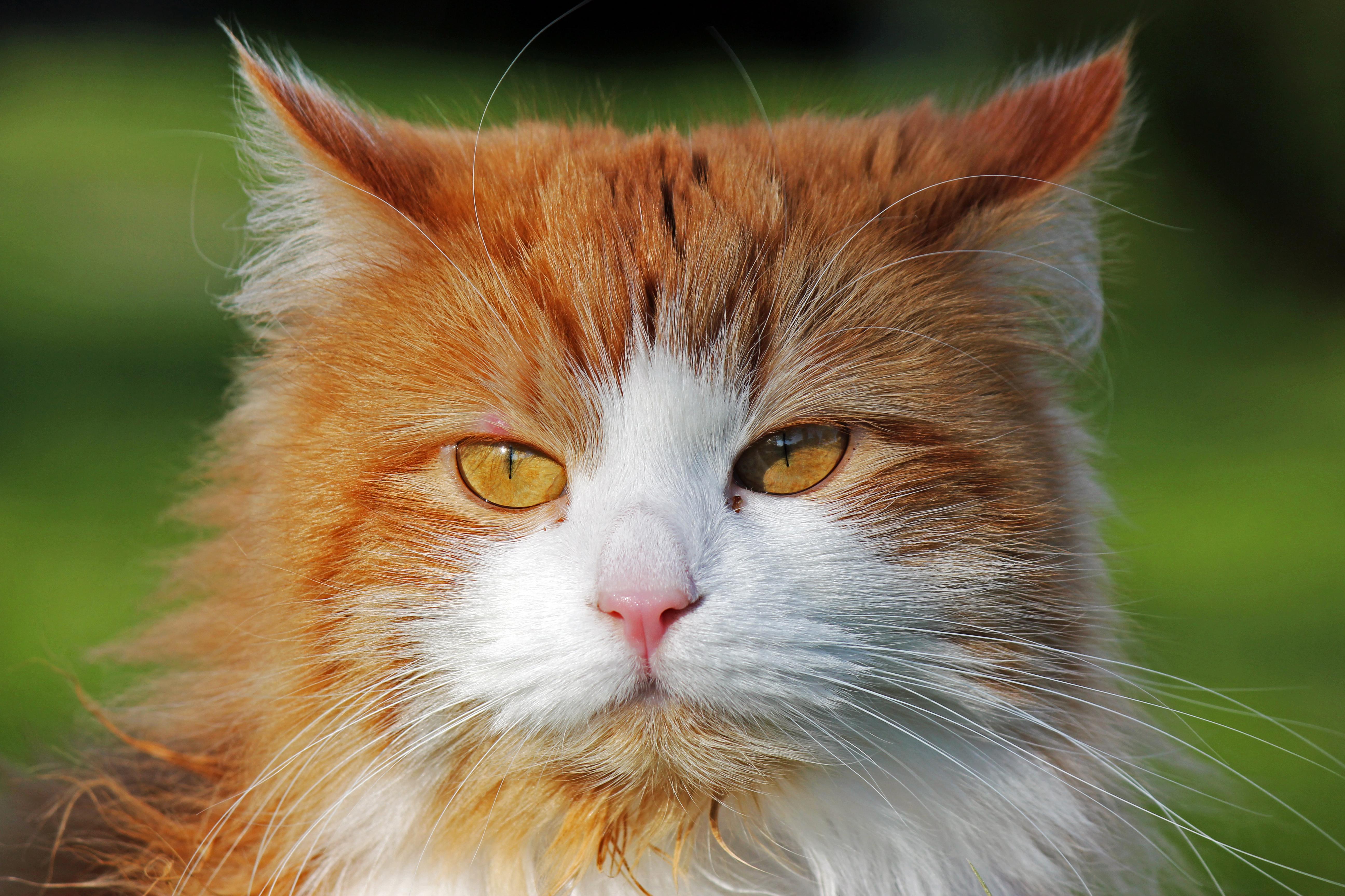 Cat of sweden