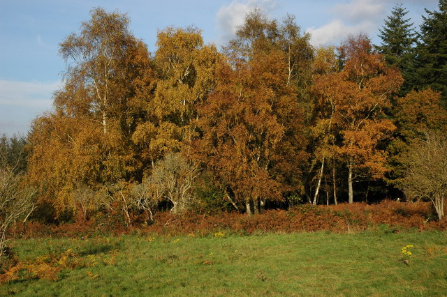 Silver Birch trees at the Kymin - geograph.org.uk - 606872