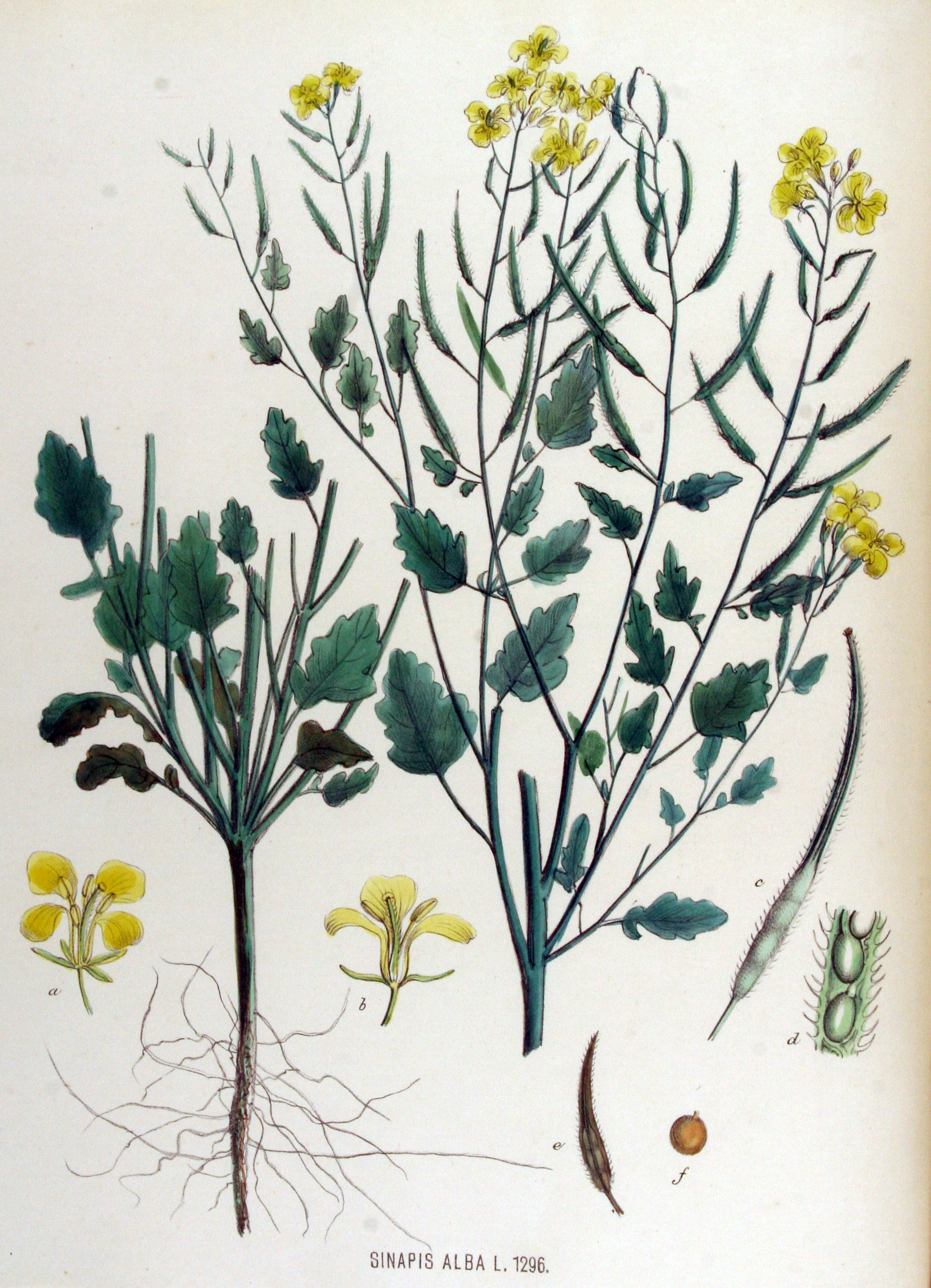 File:Sinapis alba — Flora Batava — Volume v17.jpg - Wikimedia Commons
