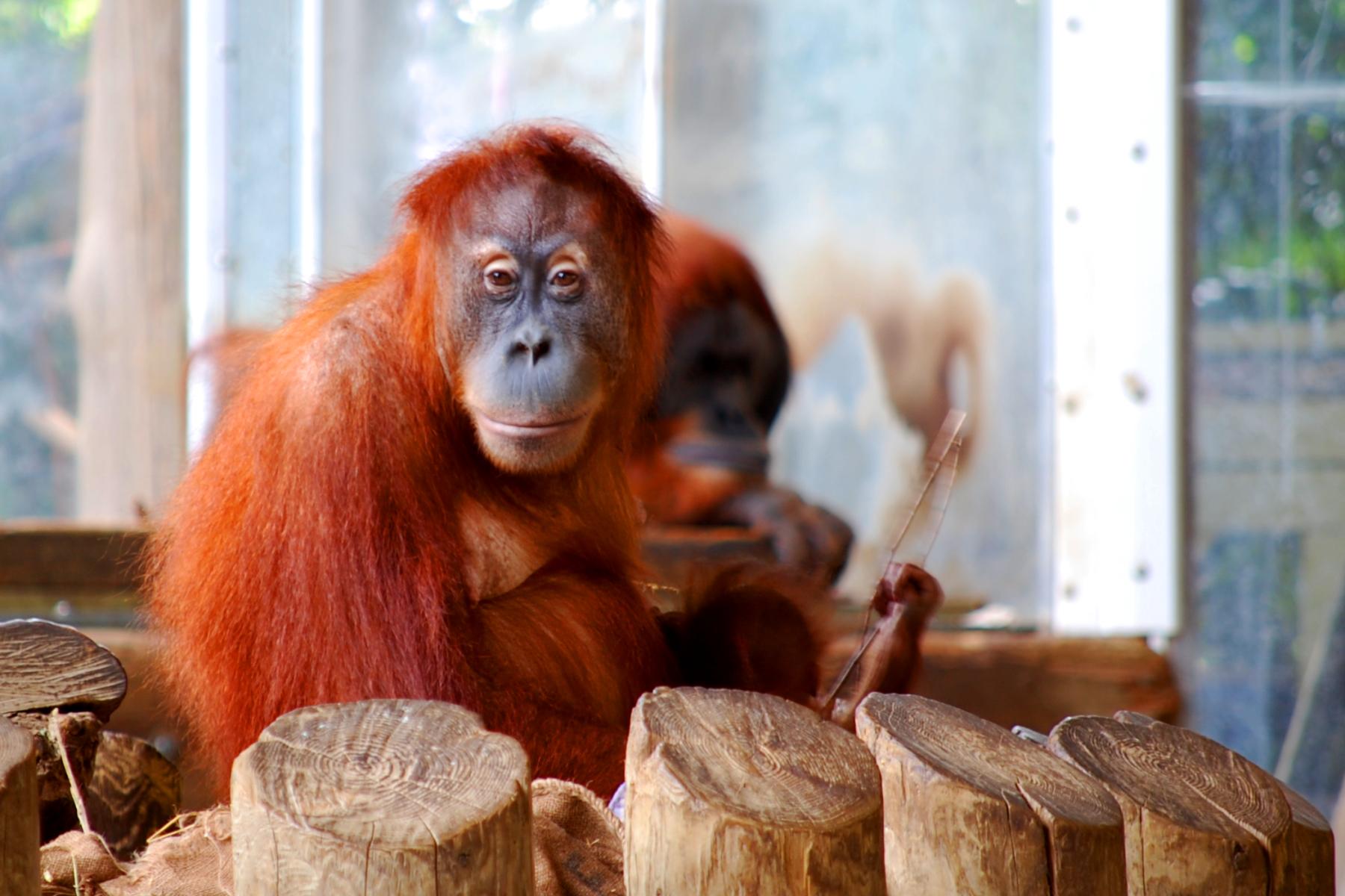 sumatran orangutan An extremely rare baby orangutan has been born at the zoo.