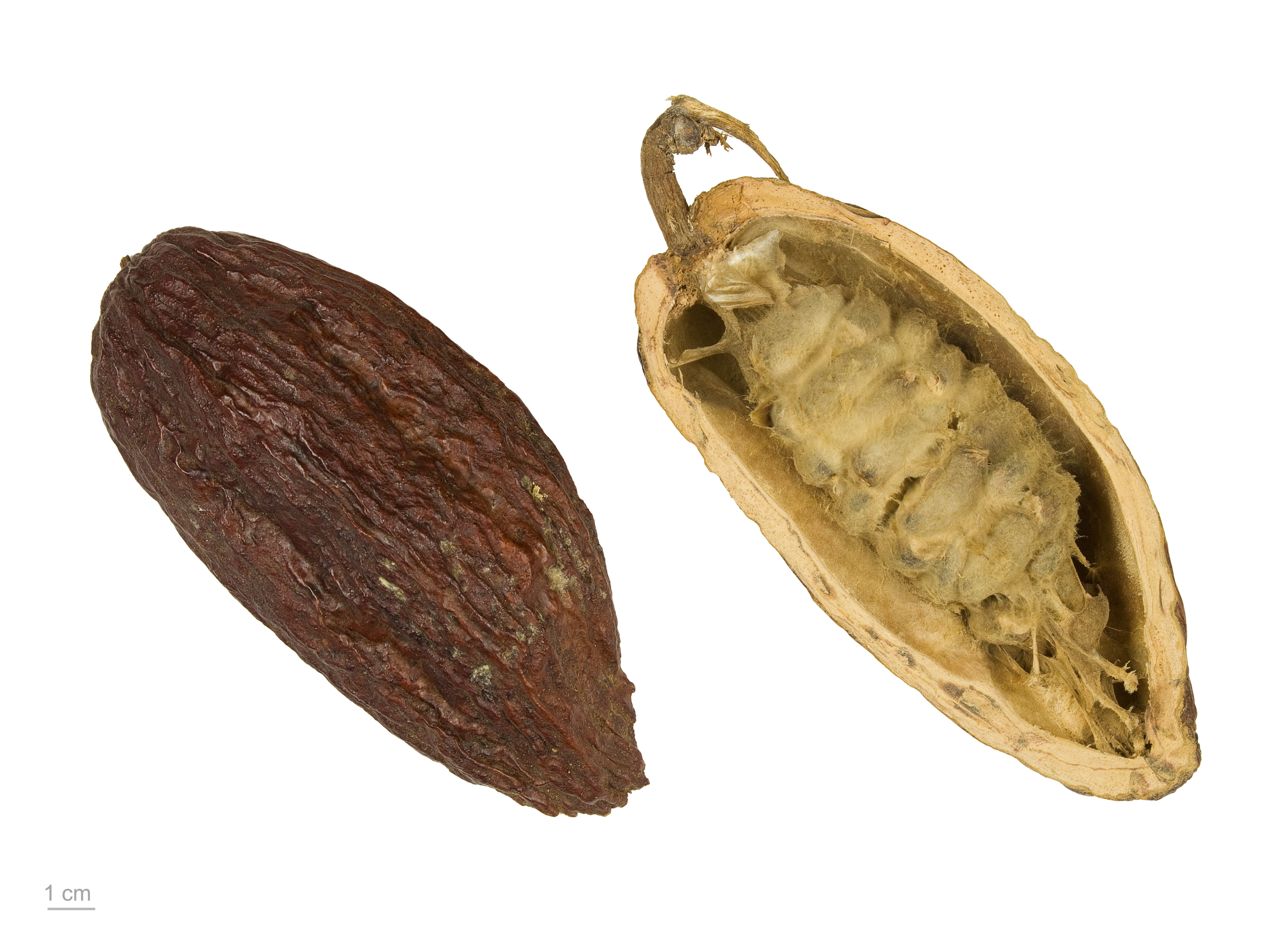 file theobroma cacao mhnt wikimedia commons. Black Bedroom Furniture Sets. Home Design Ideas