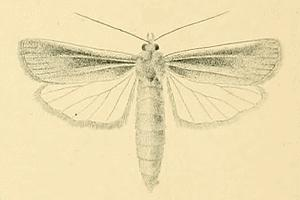 <i>Thopeutis galleriellus</i> species of insect