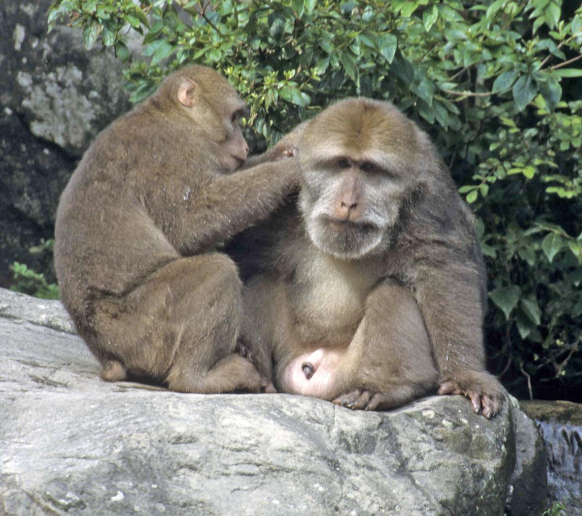 macaco pigrone