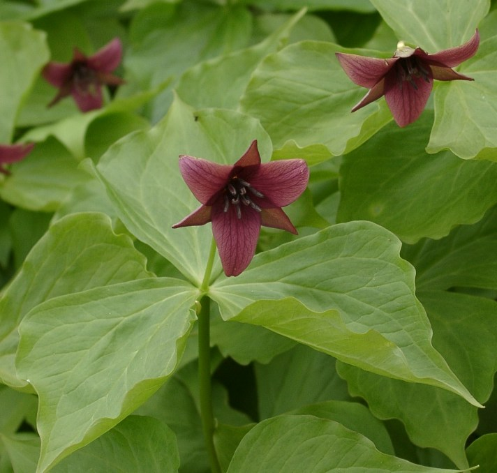 Image result for trilliums