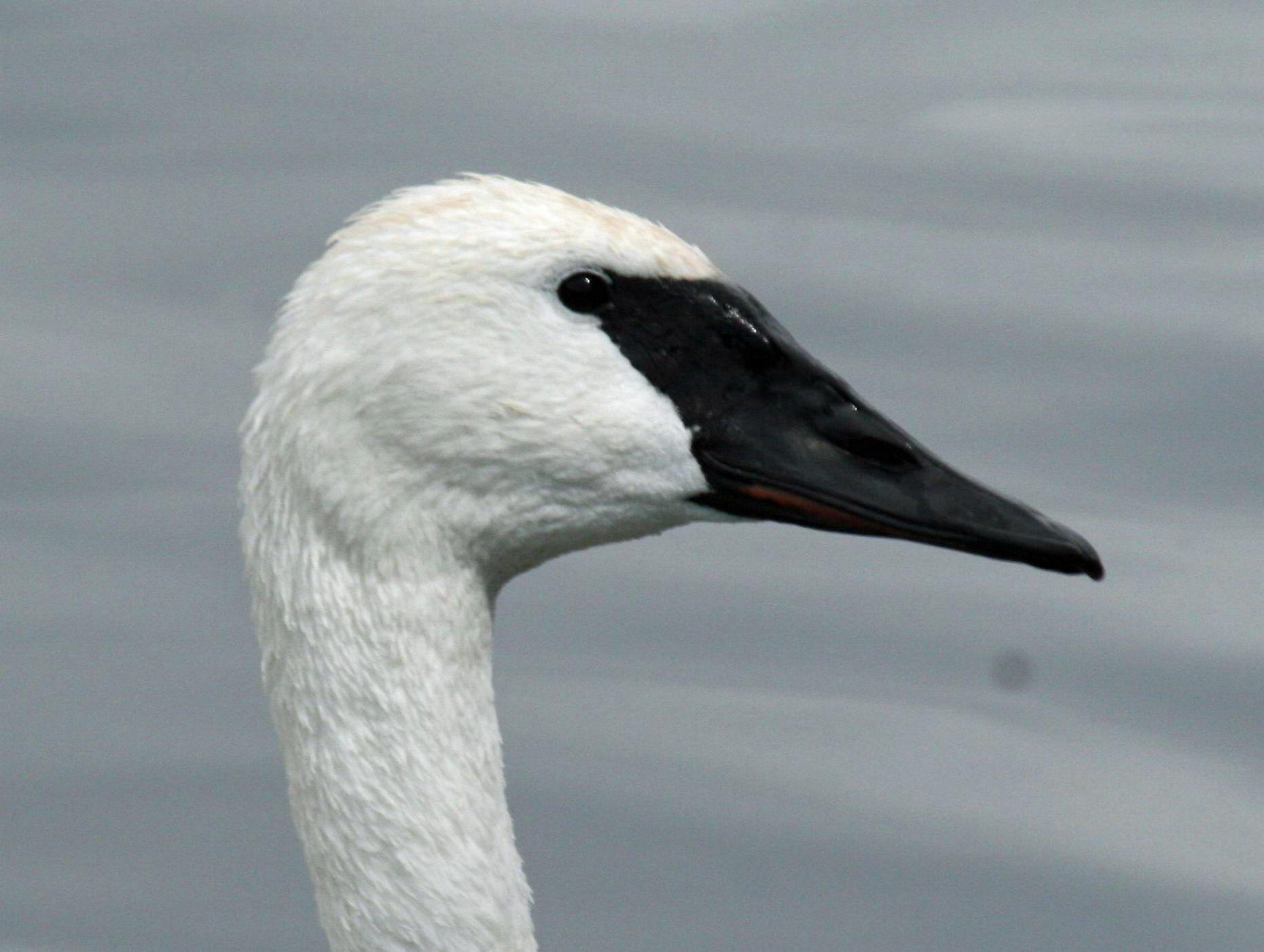 White Swan Face Paint Hard