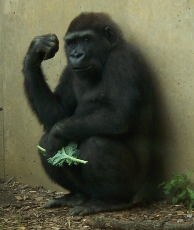 Gorilla sitting on his haunches up against a grayish green wall, one arm bent at the elbow, his hand in a fist, staring out at us