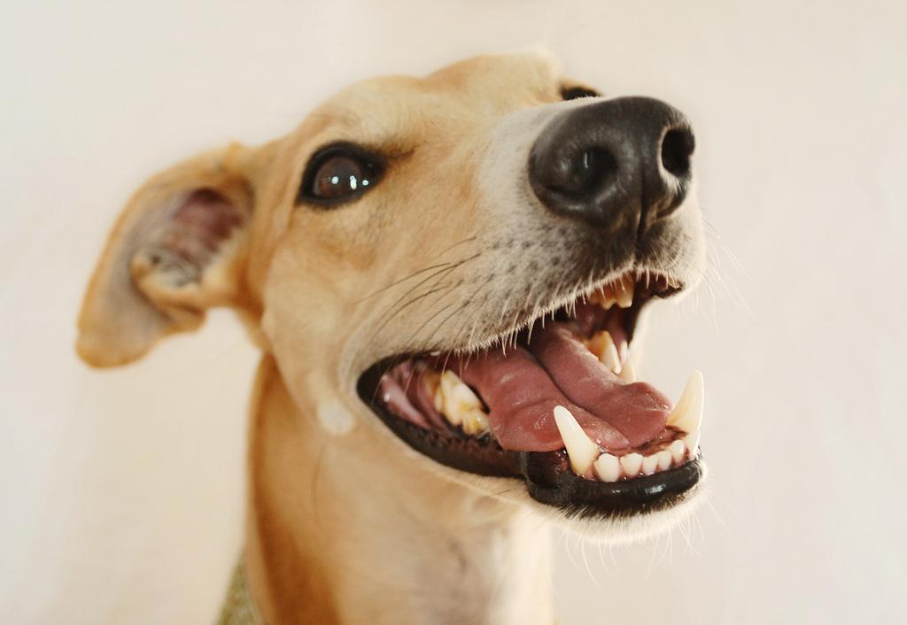 alter jack russel terrier starker mundgeruch