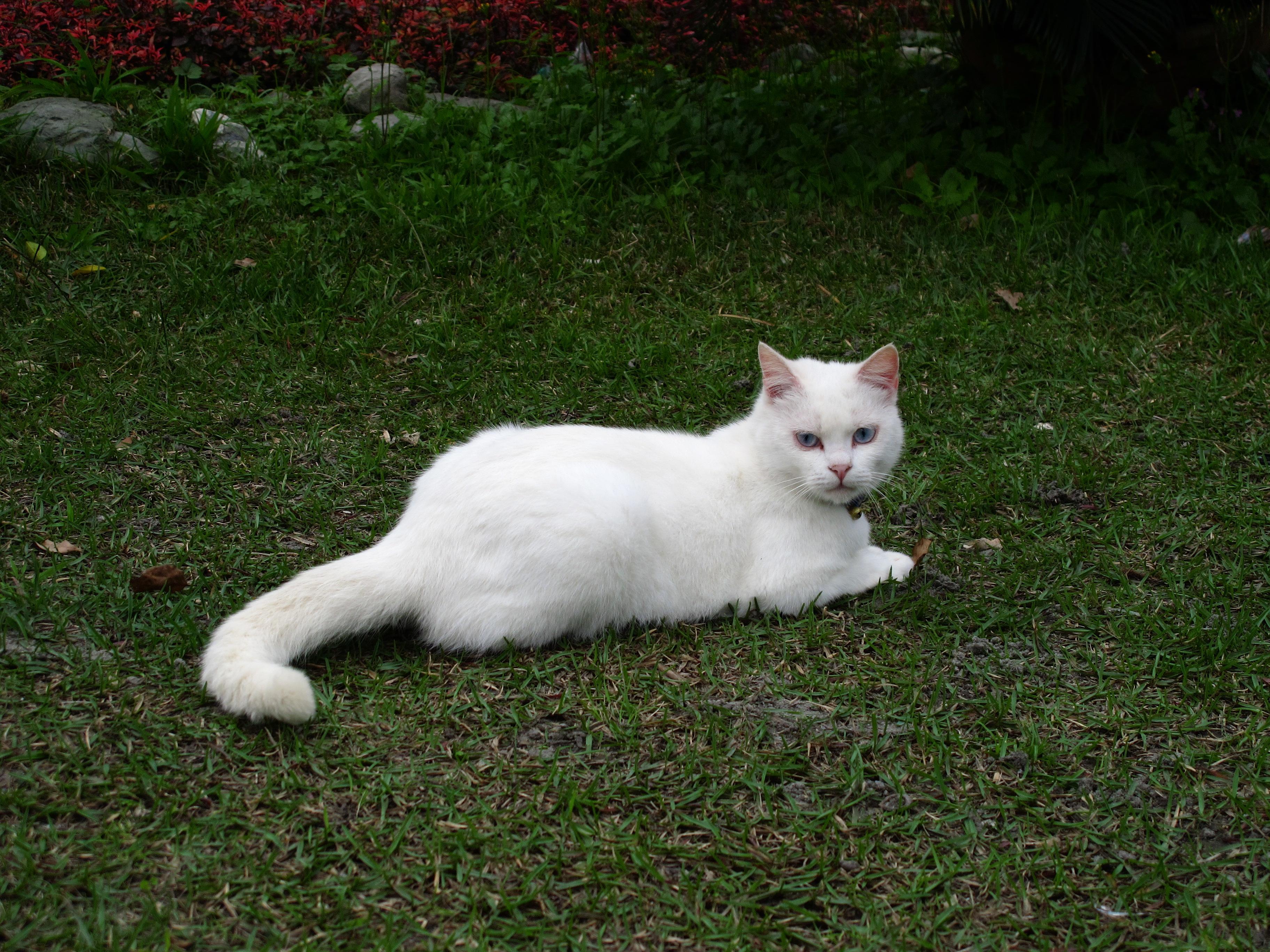 White Cat Blue Eyes