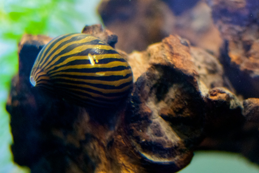 Red Onion Or Tire Tracked Nerite Snail : Tracked Nerite Snail Zebra nerite snail