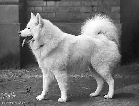 A Akita Dog Spitz - Vikipedi