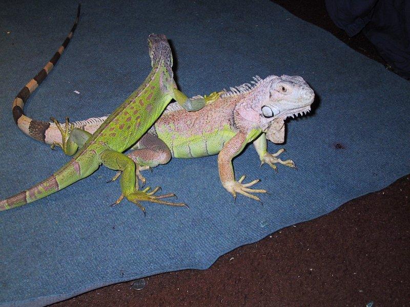 Green Iguana Drink Rum