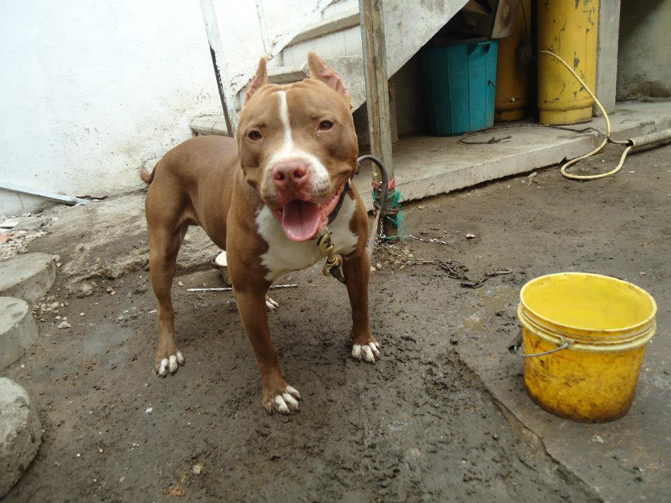 file american pitbull red nose jpg wikimedia commons