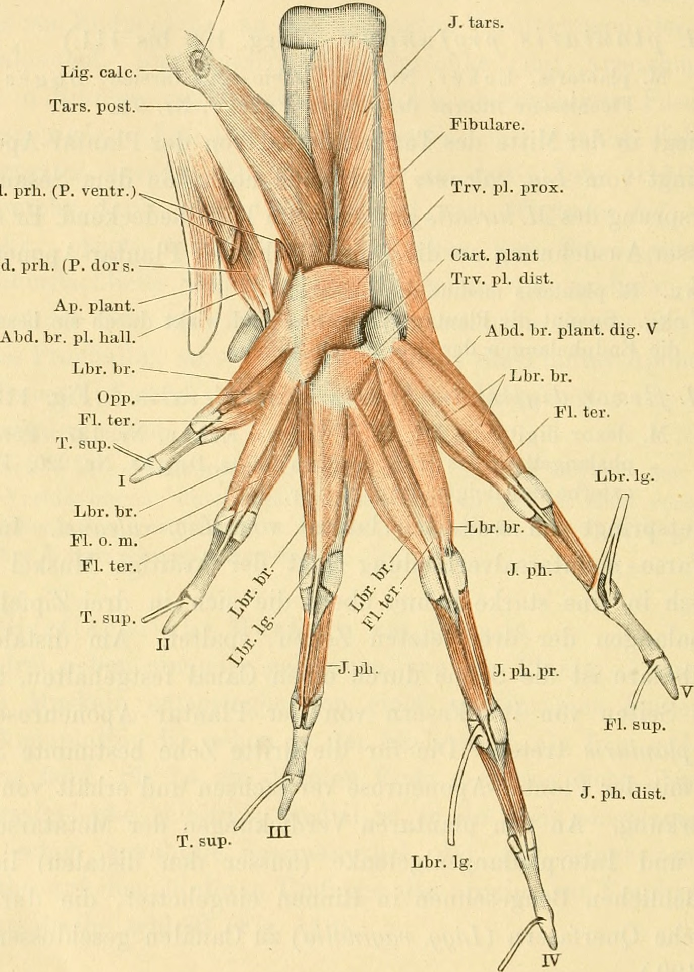 File:Anatomie des Frosches (1896) (18171041785).jpg - Wikimedia Commons