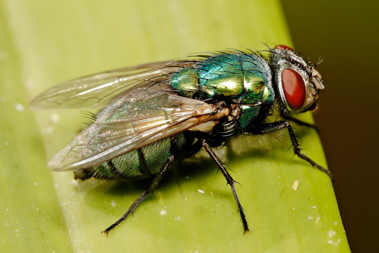 Blowfly Lucilia cuprina - Wiki...