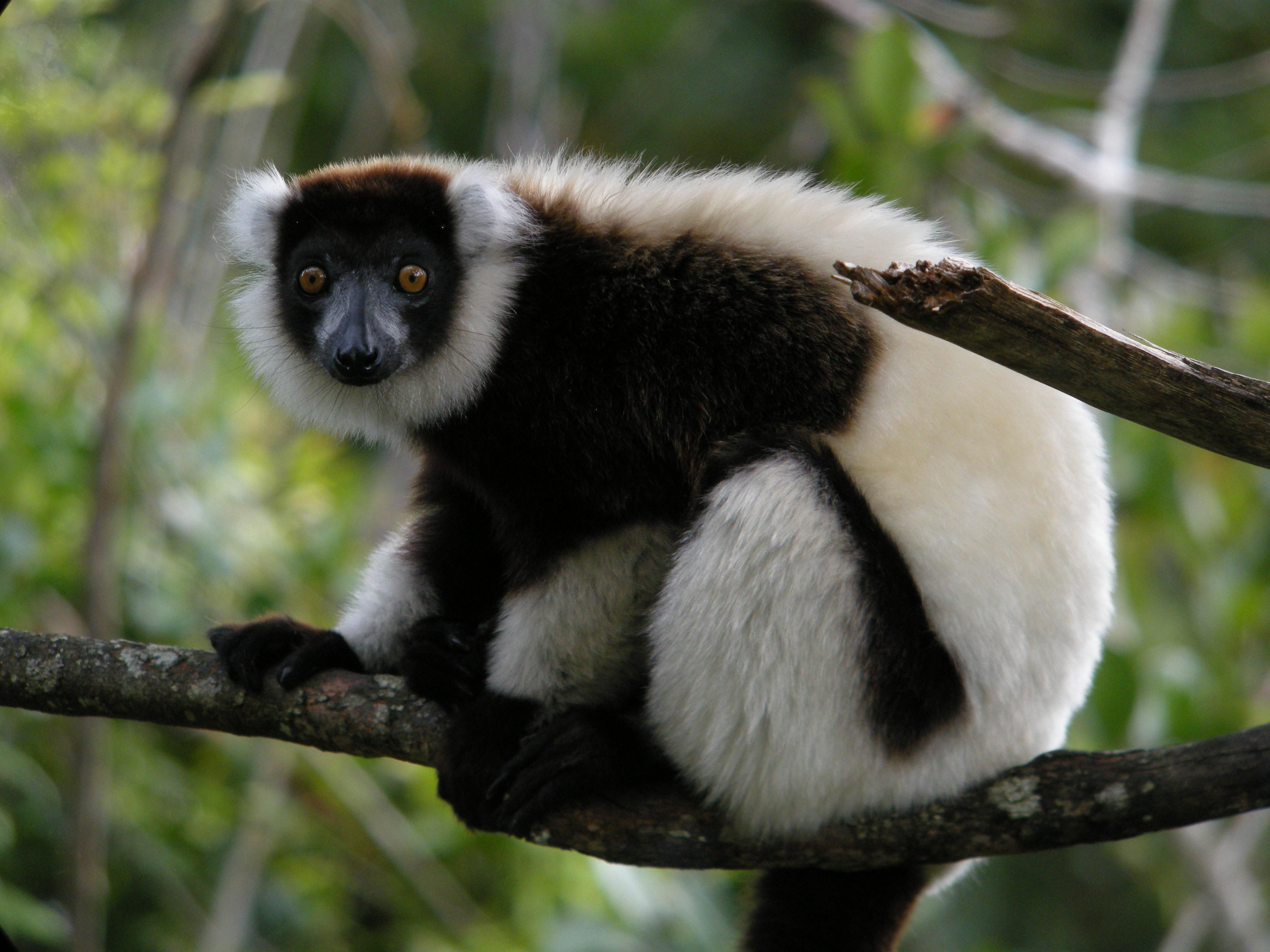 Suzy's Animals of the World Blog: THE BLACK AND WHITE RUFFED LEMUR