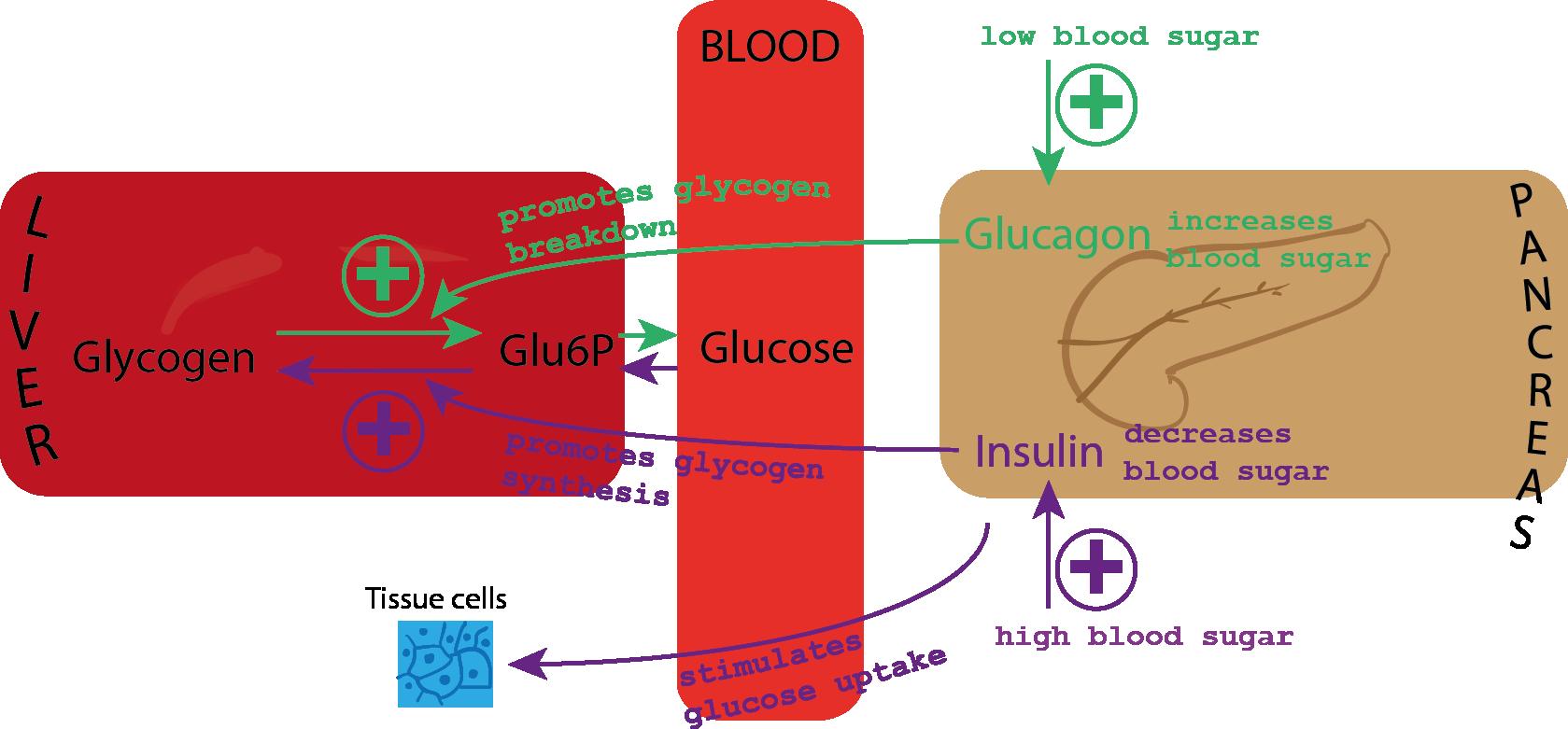 Blood sugar: medlineplus – national library of medicine, Blood sugar ...