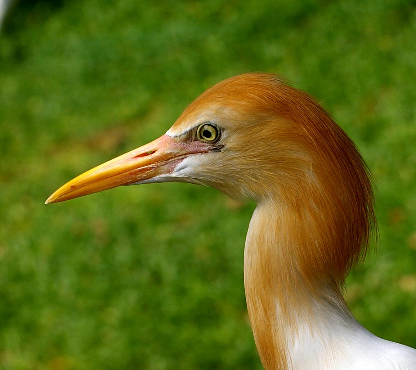 Description bubulcus ibis -jurong bird park, singapore -head-8a