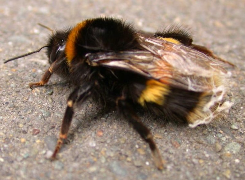 http://upload.wikimedia.org/wikipedia/commons/e/e0/BumbleBee-OnPavement.jpg