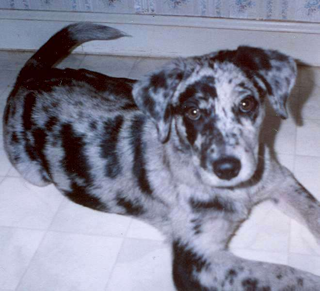 Blue Catahoula Leopard Dog Puppies For Sale