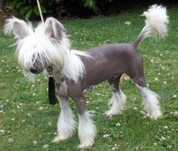 poilu noir chienne