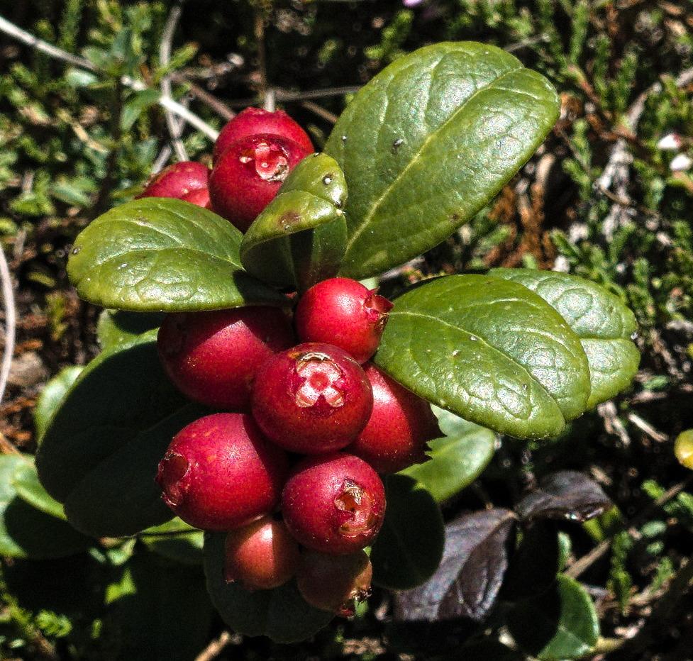 FileCowberries in Switzerland.jpg   Wikimedia Commons