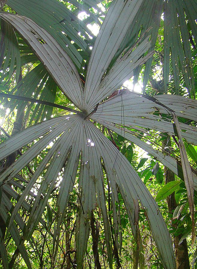 Soubor cryosophila warscewiczii a palma de escoba - Escobas de palma ...