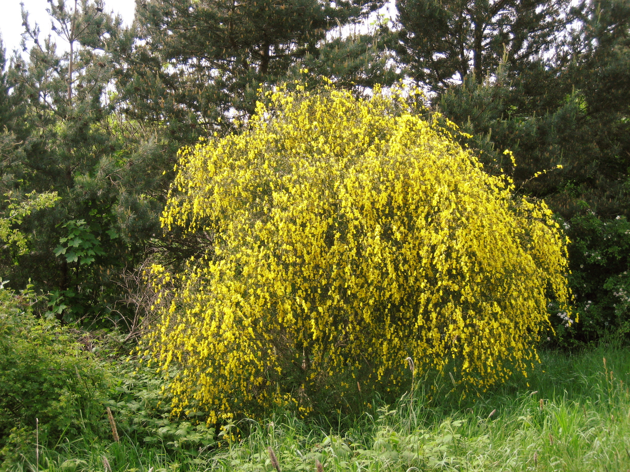 shrub wikipedia