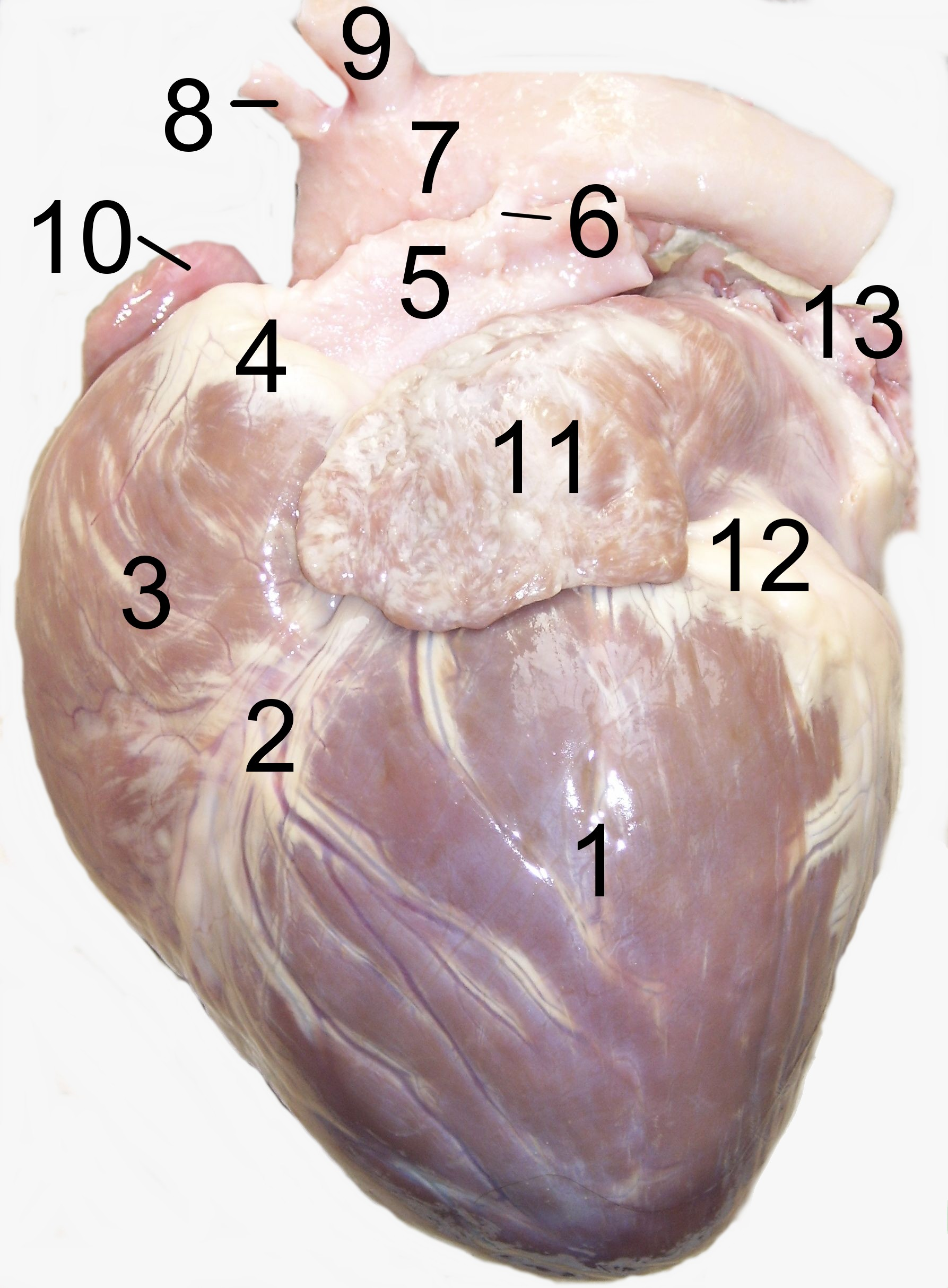 File:Dog heart 2.jpg - Wikimedia Commons