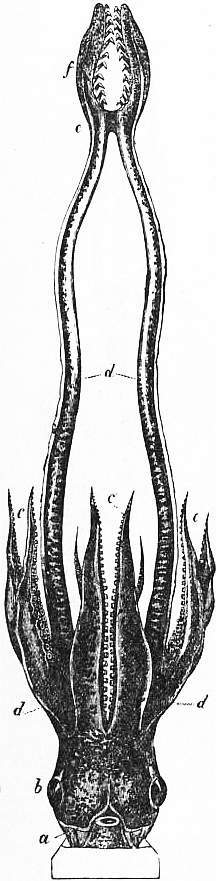 EB1911 Cephalopoda Fig. 23.—Head and circumoral processes of the fore-foot of Onychoteuthis.jpg