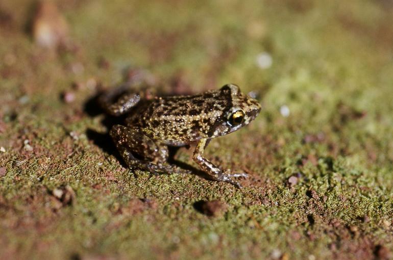 Greenhouse Frog (Eleutherodactylus planirostris)